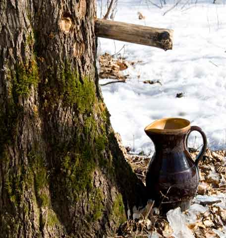 maple-flowing-into-pitcher