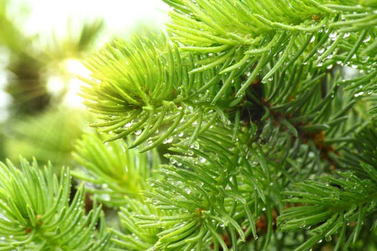 pine-branch-with-raindrops-and-sun-xs